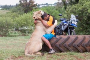 Tiger vs tiger hug