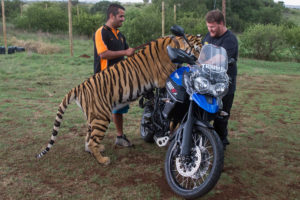 Tiger vs tiger bike